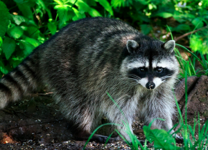 rabies alert in west newton due to raccoon
