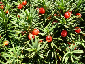 yew berries I Love Newton MA