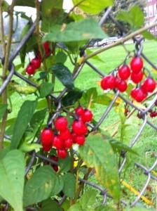 Bunchberry Bunch Berry Bunchberries Newton Auburndale MA Warren Field ILoveNewton MA