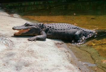 Stone zoo new alligator exhibit