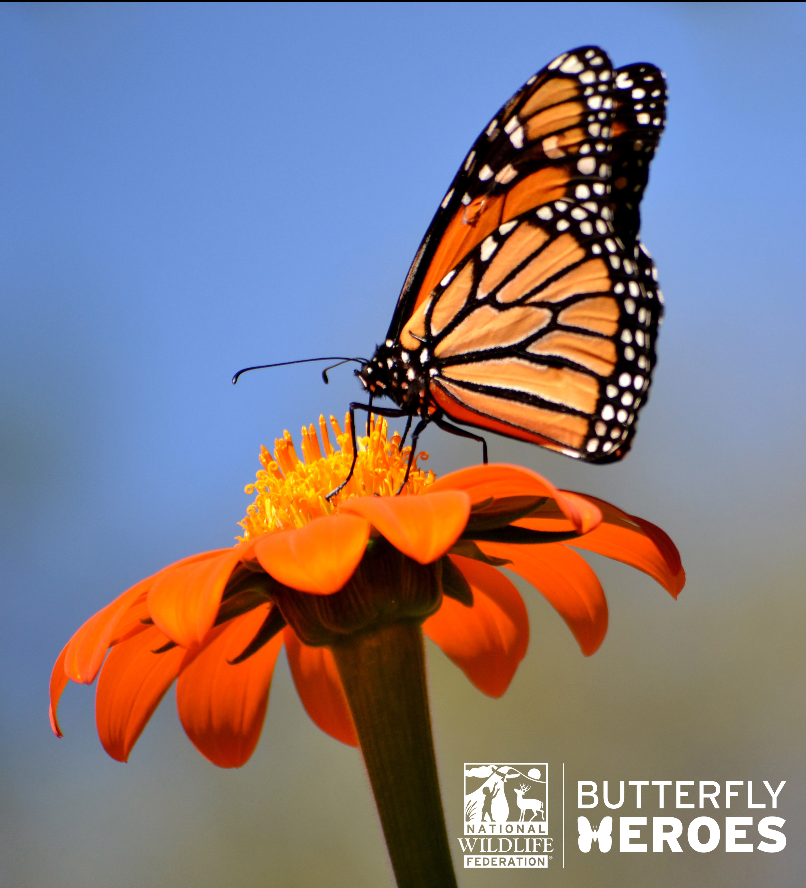 Submit a Photo and Help Save the Monarch Butterfly